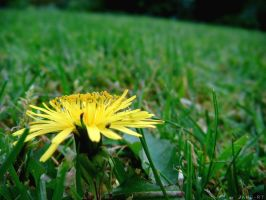 Curling Dandelion by Jane-Rt