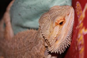 Bearded Dragon 3 by Breath0fAir