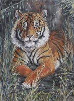 Tiger study by acrylicwildlife