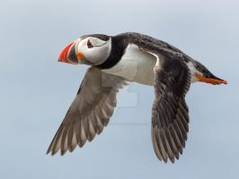 Puffin well wouldn't you after all that flying by Jamie-MacArthur