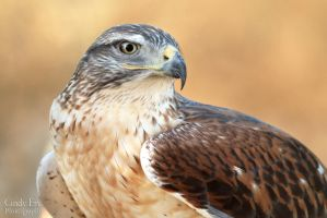Ferruginous Hawk by lost-nomad07