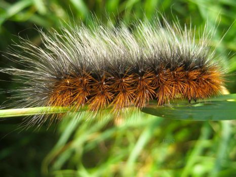 Tiger Moth Caterpillar by iriscup