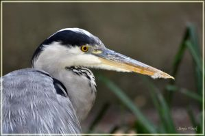 Blue Heron close by Lentekriebel