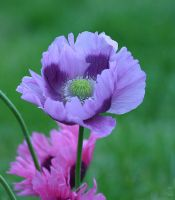 Lilac poppy by AngiWallace