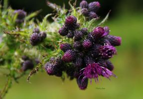 Thistle Buds 1 by Deb-e-ann