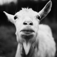 goat by Cyril-JP