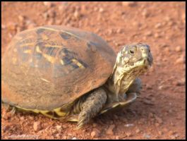 Box Turtle by SuicideBySafetyPin