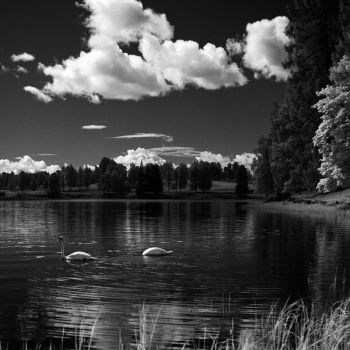 - Swans - by TomFindahl