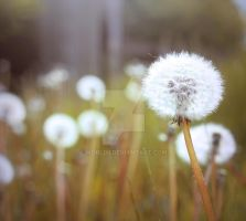 Dandelion Clock by WorldII