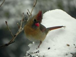 Female cardinal on a snowday by Lou-in-Canada