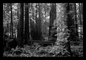 Muir Woods by dspittard