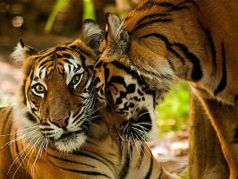 Sumatran Tiger Mother + Cub i by weaverglenn