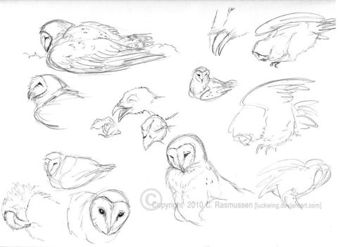 Barn Owl sketches by Luckwing
