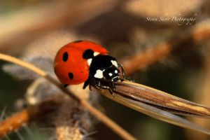 Lady Bug 2 by Mac-Wiz