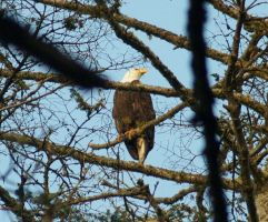 Bald Eagle by TheInfernalDemon