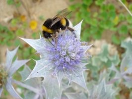 Bumblebee on thistle by The-Underwriter