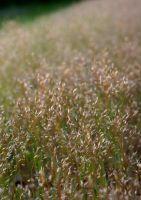 Wheat and Grass by MyLaundryStinks