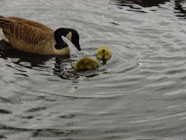 Goose and chicks by stud1038