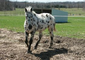 Leopard Appaloosa .:Stock:. by Photopolis