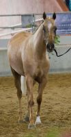 STOCK - 2014 Arabian Gala-205 by fillyrox