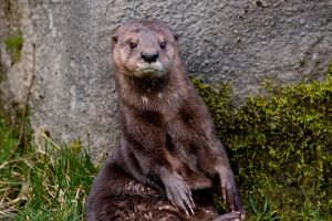 Otter by Sato-photography