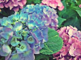 Flowers ~ Blue by ZiaBoris
