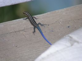 blue-tailed skink by redtailhawker