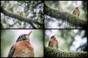 Rutty Robin - Multiframe by juniberries