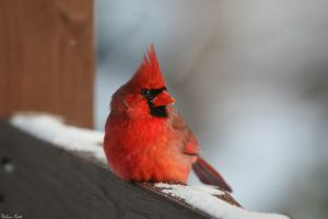 Resting Cardinal by mydigitalmind