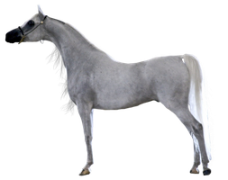 Precut Grey Arabian Gelding by Vesperity-Stock