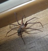 Brown Recluse Spider by Destroyah93
