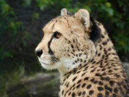 05.06.2012 - cheetah queen by AnimalPhotographer