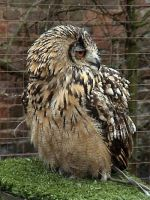 Eagle owl by Helens-Serendipity