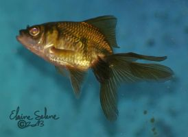 Stay Gold - The GOLD Goldfish - 5 by ElaineSeleneStock