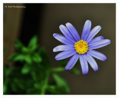 Lil' Blue by erbphotography