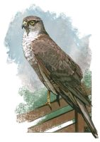 Sparrowhawk sketch by JaniceDuke