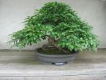 bonsai 1.3 - green hornbeam by meihua-stock