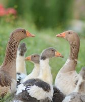 family Goose by M3los93