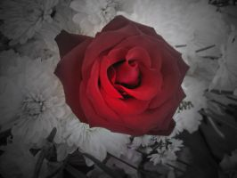 Red Rose 2 by ThreeRingCinema
