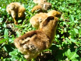 Baby Chicks by Tomiko2011