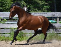 Bay morgan ears back canter by equustock