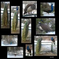 Peacocks at the Moscow Zoo by GreyCatFelis