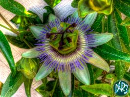 passion fruit blossom hdr by DCRIII