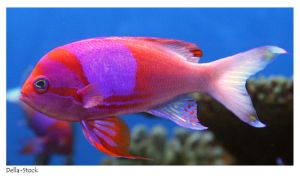 Square Pink Anthias by Della-Stock