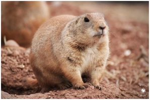 Prairie Marmot - three - by Pixie-Arts