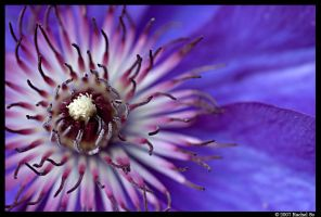 Purple Clematis V by butterfly36rs