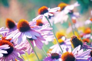 Coneflowers by incolor16