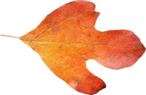 Sasafrass Leaf PNG 01 by Thy-Darkest-Hour