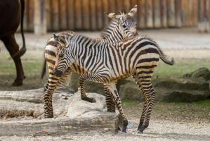 Little Zebra by Fotostyle-Schindler
