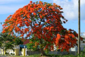 Blossoming Poincianna by Writer4Him